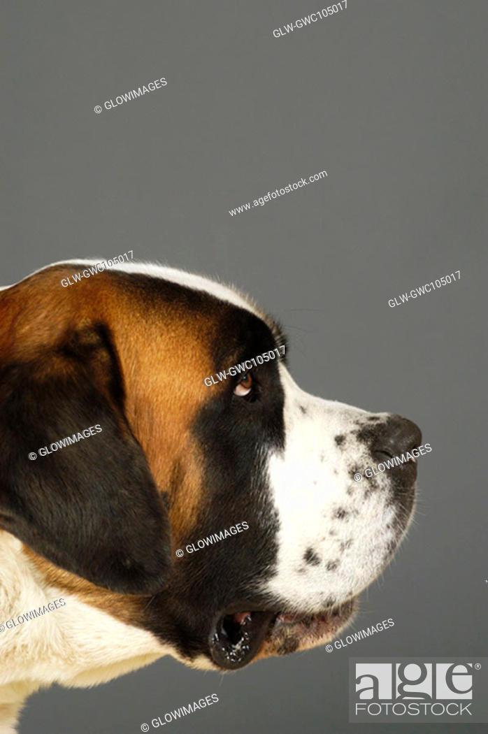 Stock Photo: Side profile of a St. Bernard dog.