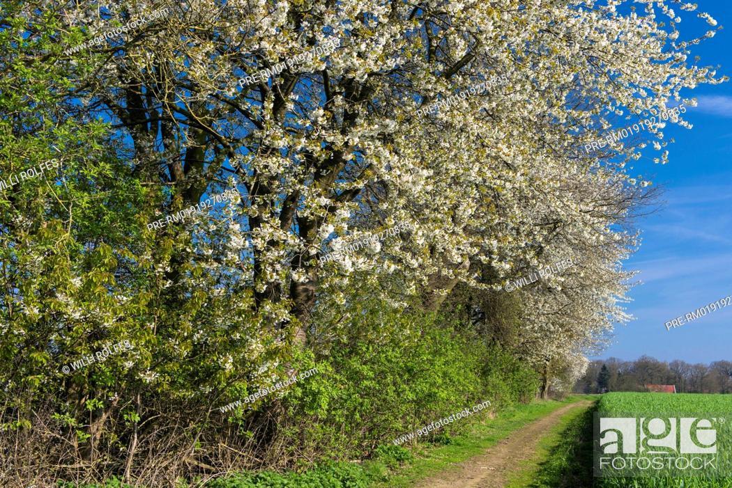 Imagen: Blooming Cherry Tree at a hedge bank, Oldenburg Münsterland, Niedersachsen, Germany / Blühender Kirschbaum an eine Wallhecke, Oldenburger Münsterland.