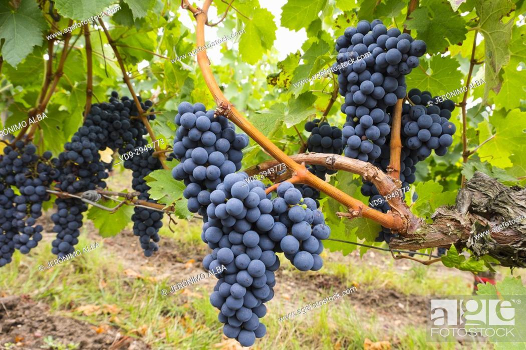 Imagen: Vineyards. Pomerol. Bordeaux wine region. Aquitaine Region, Gironde Department. France Europe.