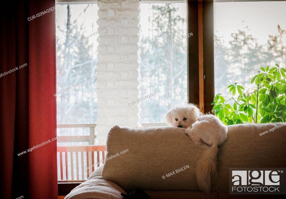 Imagen: Coton de tulear dog lying on back of sofa.