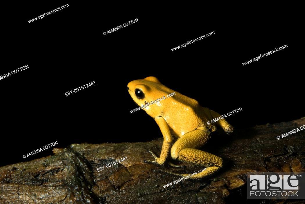 Stock Photo: Yellow Dart Frog.