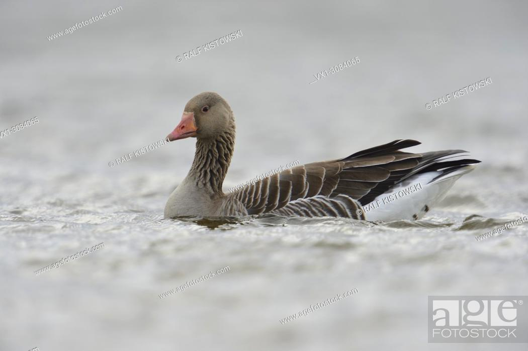 Imagen: Greylag Goose ( Anser anser ), one adult, swims close by, on open water, detailed side view, in dull, dim, weather, wildlife, Europe.