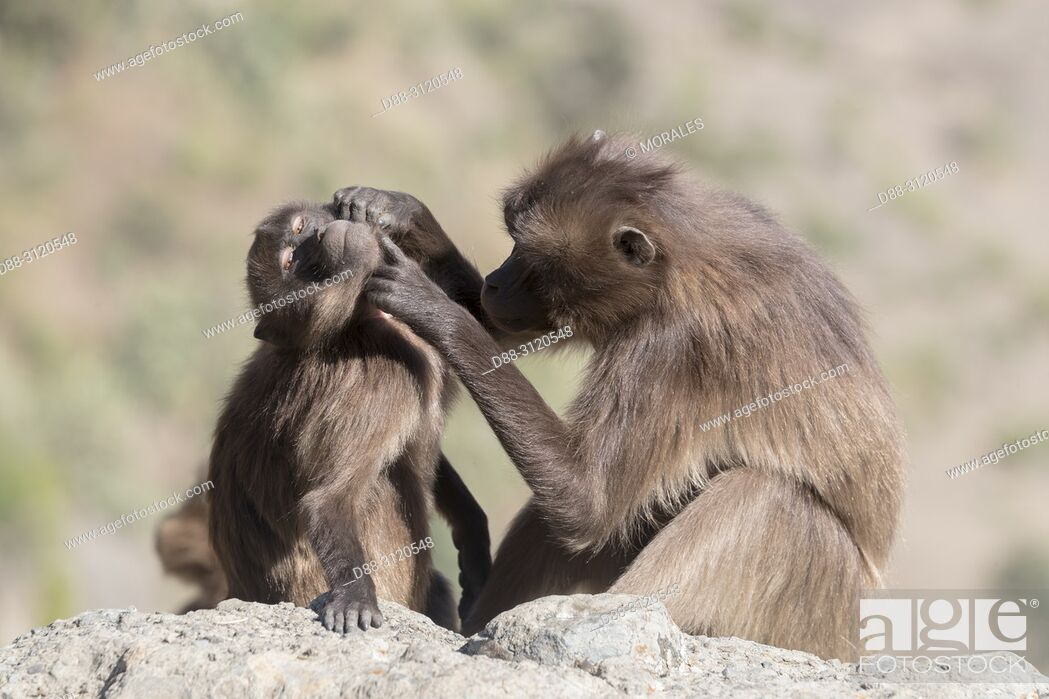 Stock Photo: Africa, Ethiopia, Rift Valley, Debre Libanos, Gelada or Gelada baboon (Theropithecus gelada), adult female with a young, grooming.