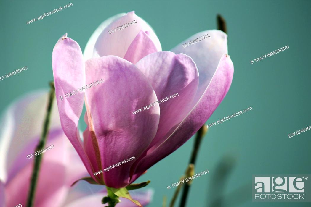 Stock Photo: Close up of a two tone pink Leonard Messel Magnolia tree flower in full bloom in spring.