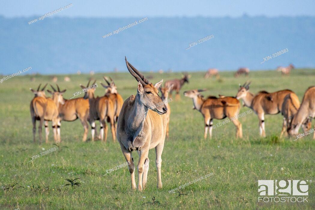 Stock Photo: Common eland (Taurotragus oryx) gather together in field in the Maasai Mara National Reserve, Kenya.