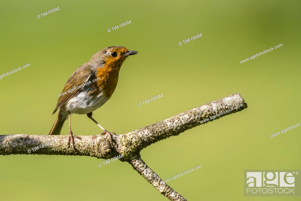 Stock Photo: A Robin (Erithacus rubecula) in the Uk.