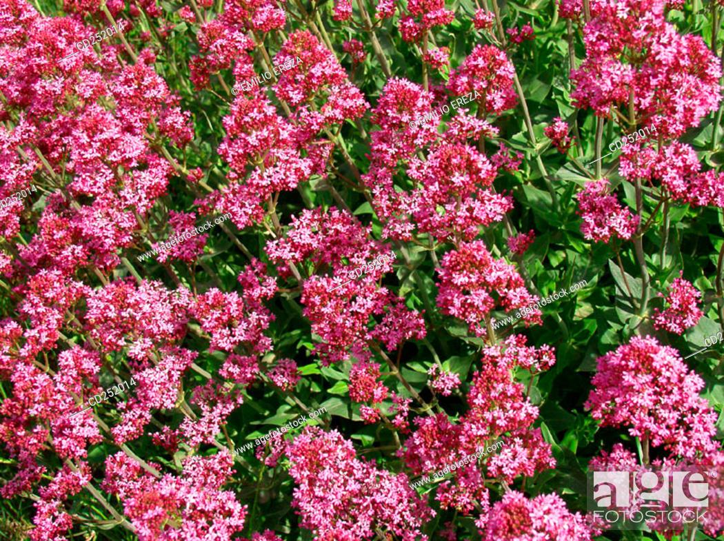 Stock Photo: Red Valerian (Centranthus ruber).