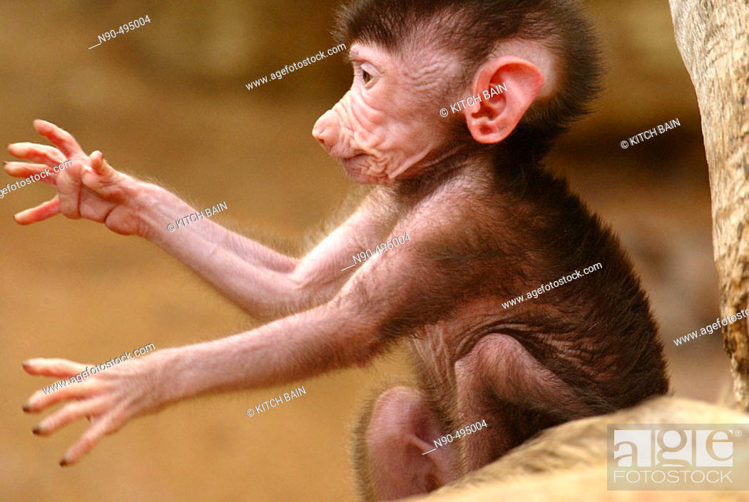 Stock Photo: Baboon (Comopithecus hamadryas). Africa.
