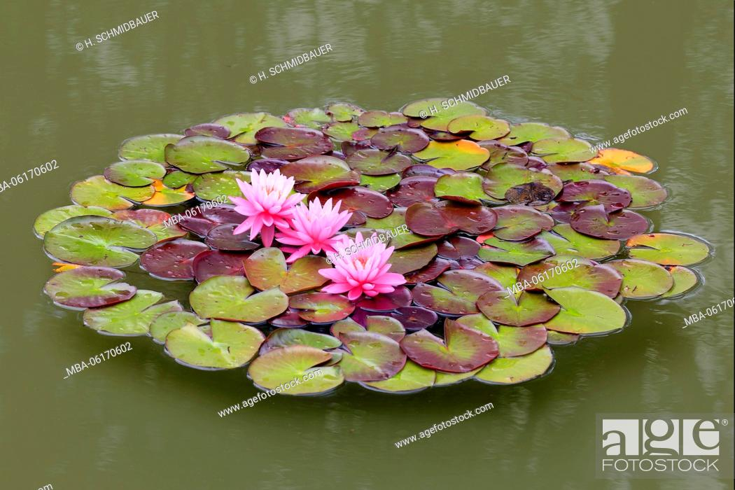 Stock Photo: Water lilies flowers and leaves in the pond, Nymphaea.