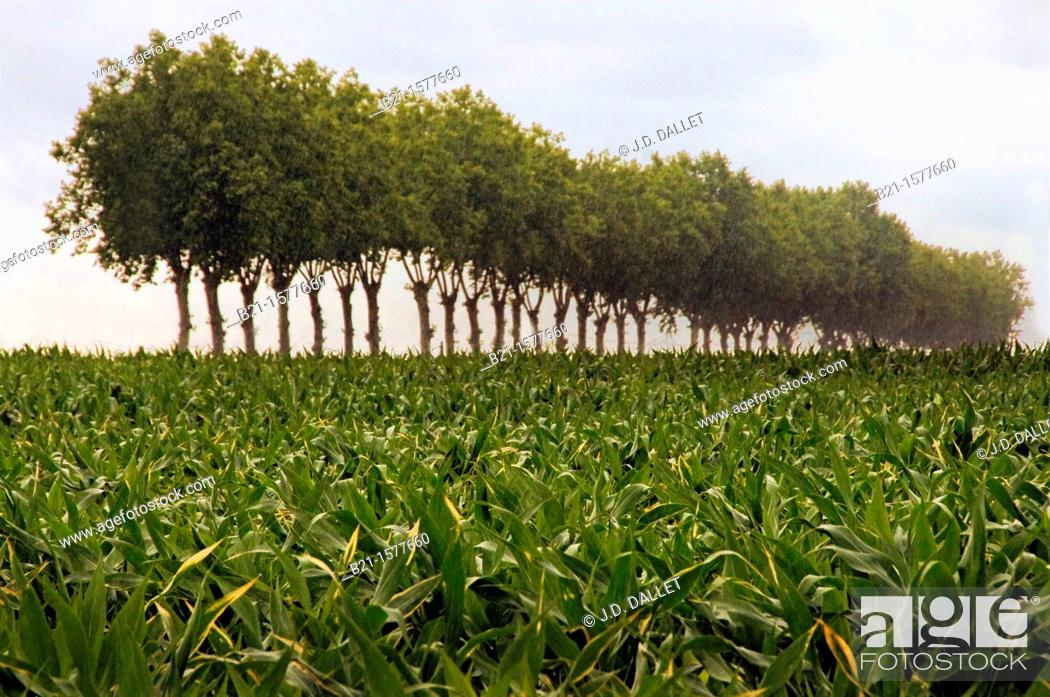 Stock Photo: Pilgrimage way to Santiago de Compostela: corn landscape near Nogaro, Gers, Midi-Pyrenees, France.