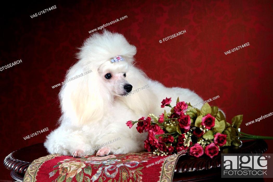 Stock Photo: pose, poodle, house pet, canines, domestic, dog.