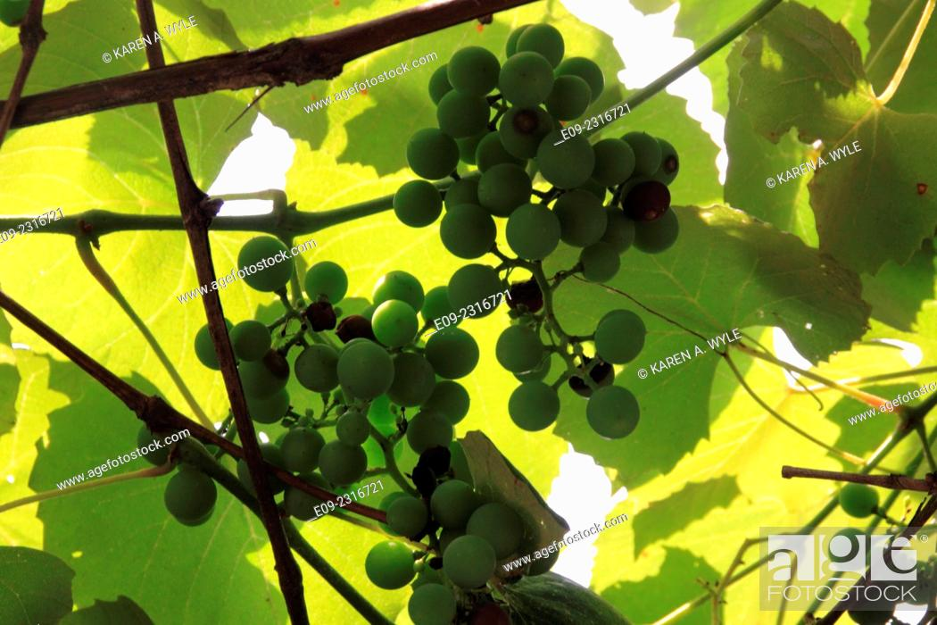 Stock Photo: green grapes with sunlit leaves overhead, Monroe County, IN.