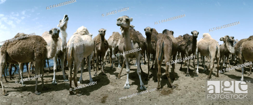 Stock Photo: Tunisia, herd of camels, panoramic view.