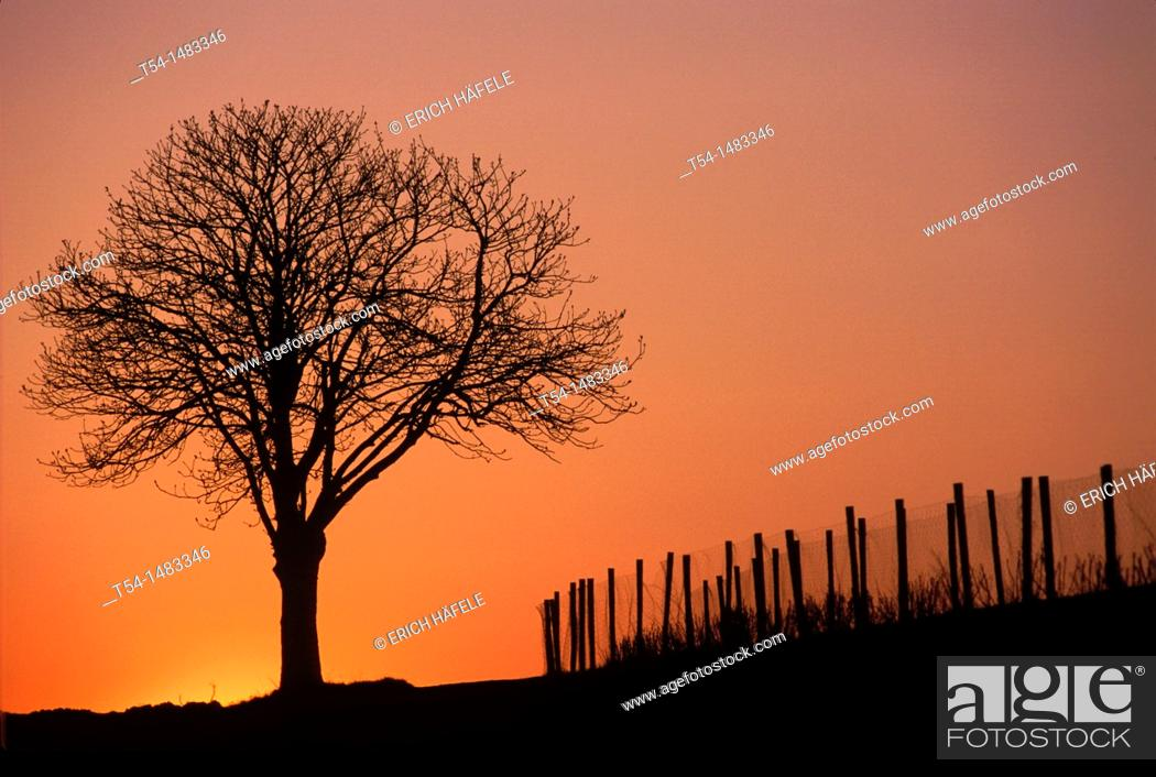 Stock Photo: Silhouette of a deciduous tree in the dusk.