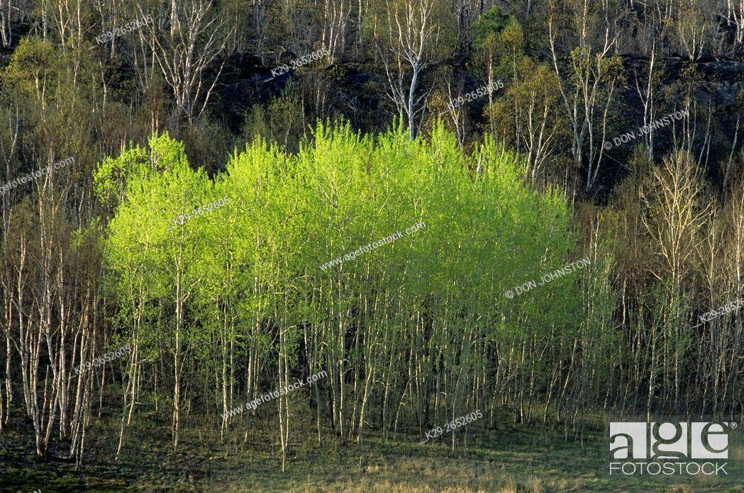 Imagen: Trembling aspen (Populus tremuloides) Spring foliage, Greater Sudbury, Ontario, Canada.