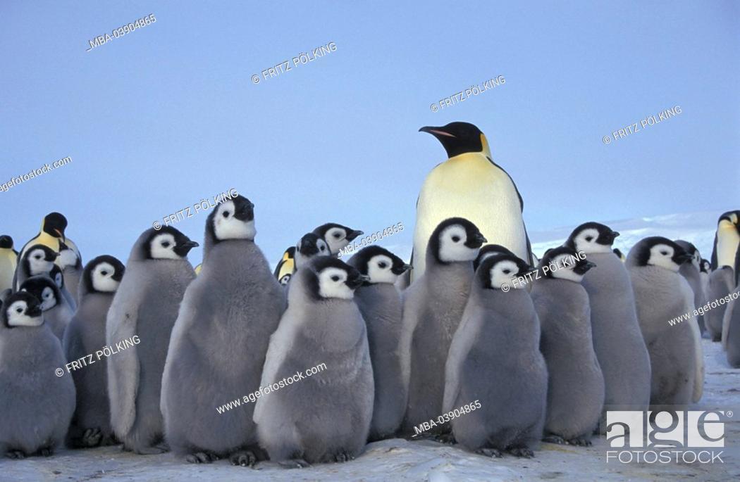 Stock Photo: Emperor-penguins, Aptenodytes forsteri,.
