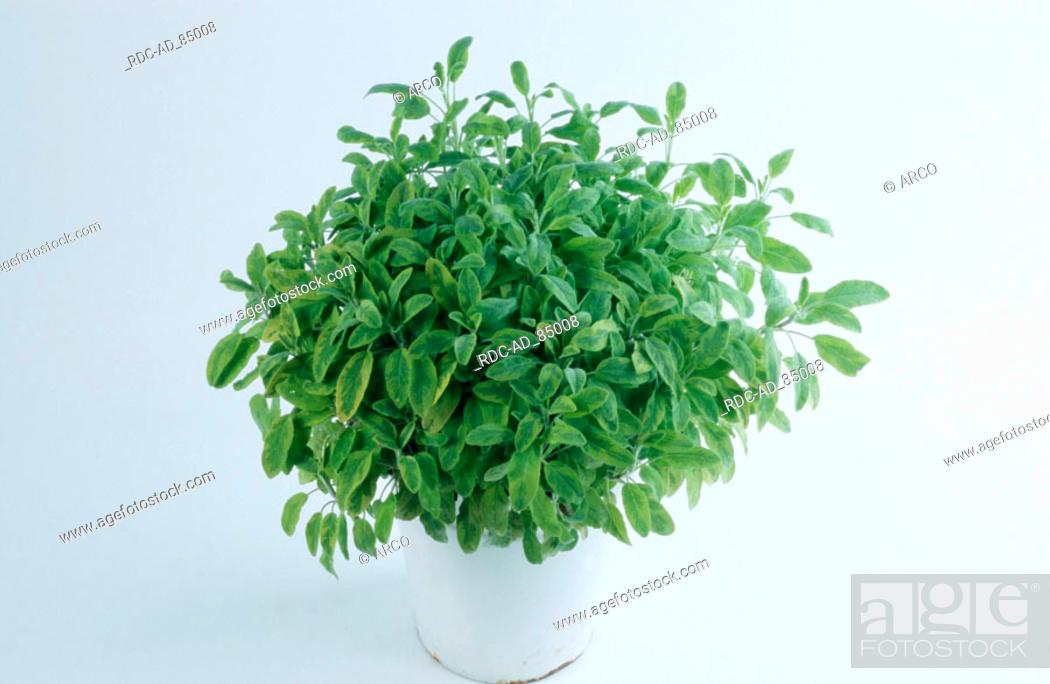 Stock Photo: Common Sage Salvia officinalis indoor.