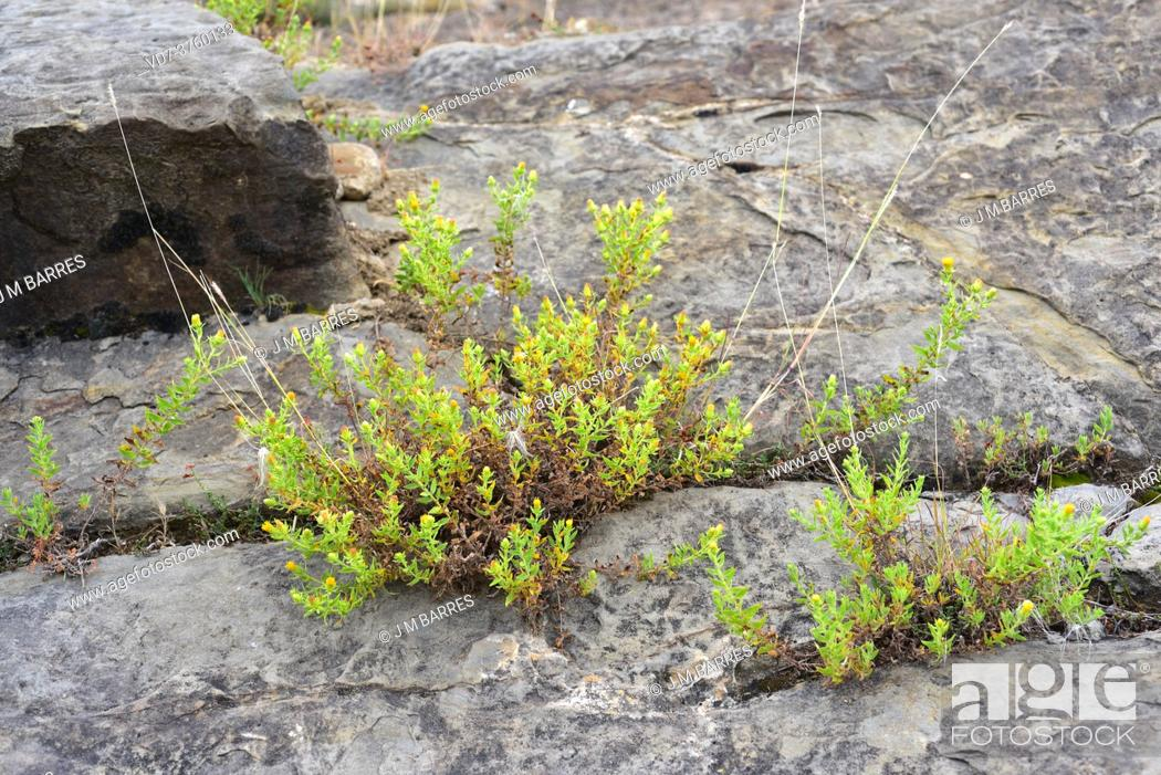 Stock Photo: Rock tea (Chiliadenus glutinosus or Jasonia glutinosa) is a medicinal perennial herb native to Spain, southern France and Morocco.