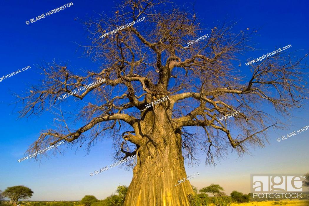 Stock Photo: Baobab tree, Tarangire National Park, Tanzania.