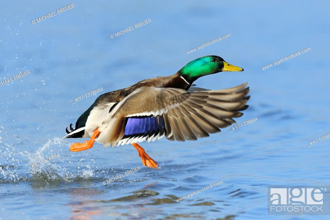 Stock Photo: Mallard, Anas platyrhynchos, Male, Germany, Europe.