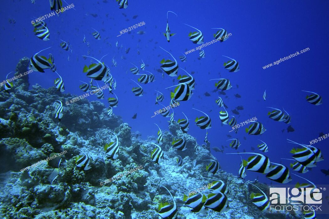 Stock Photo: Schooling Banner fish (Heniochus diphreutes), Indian Ocean, Maledives, South Asia.