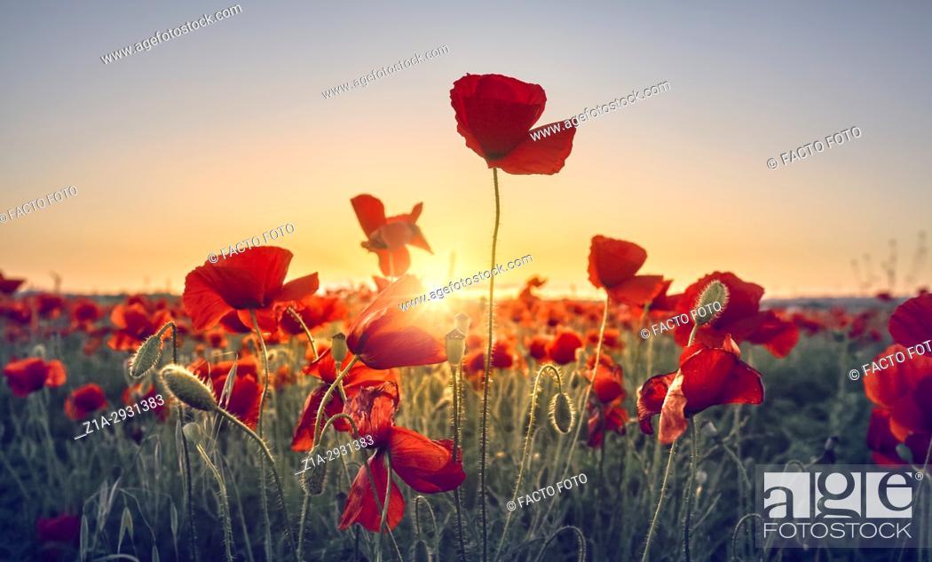 Imagen: Red poppy flowers field. Getafe, Community of Madrid. Spain.