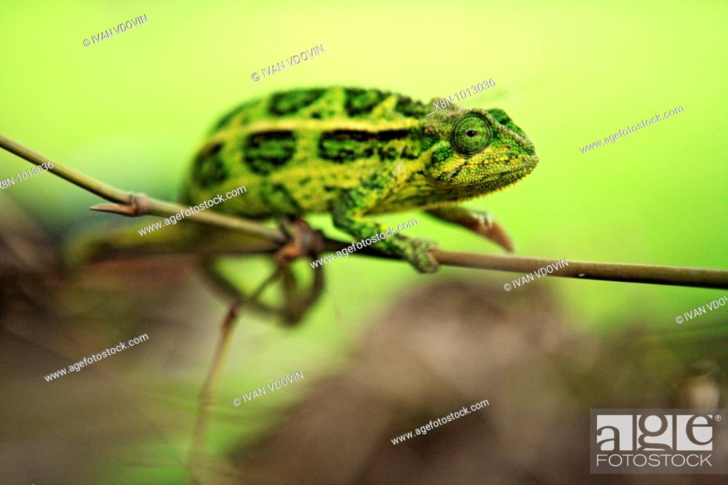 Stock Photo: Chameleon, Queen Elizabeth National Park, Uganda, Africa.