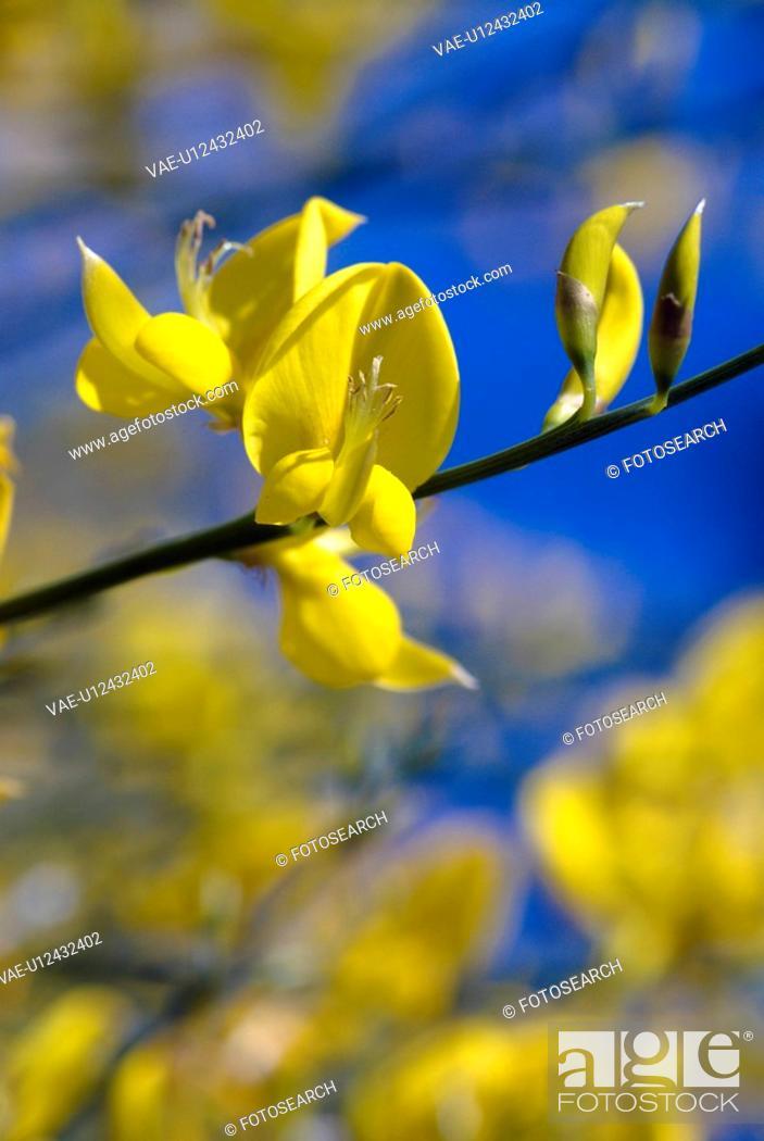 Stock Photo: outdoors, flora, gorse, belvedere, flowers, yellow, plants.