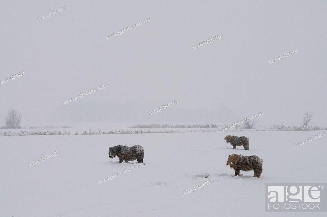 Imagen: Pony Equus spp - Groningen, The Netherlands, Holland, Europe.