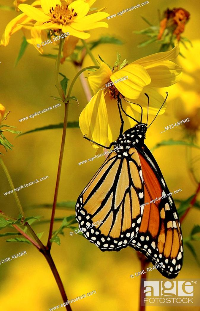 Imagen: A monarch butterfly searches for nectar in a yellow flower, Pennsylvania, USA.