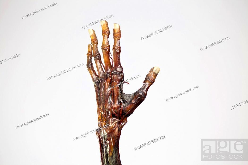 Stock Photo: An anatomical model of a mummified human hand.