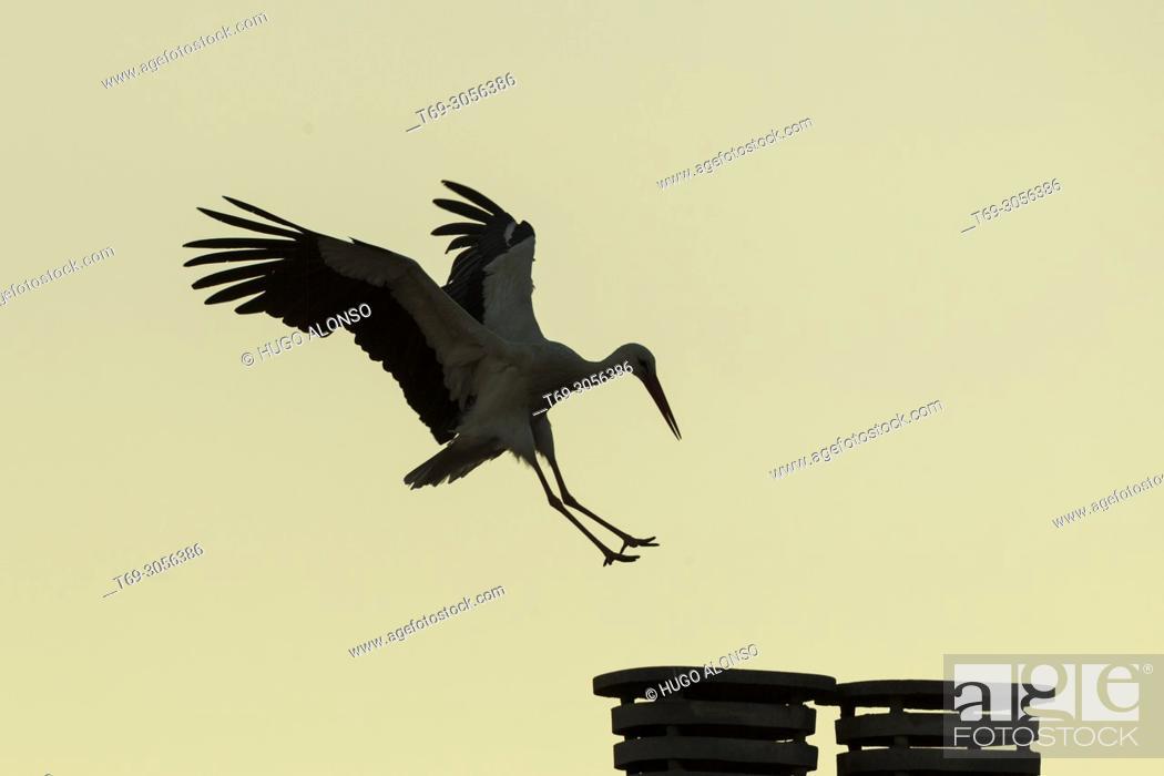 Stock Photo: White stork (Ciconia ciconia), Alfaro, La Rioja, Spain.
