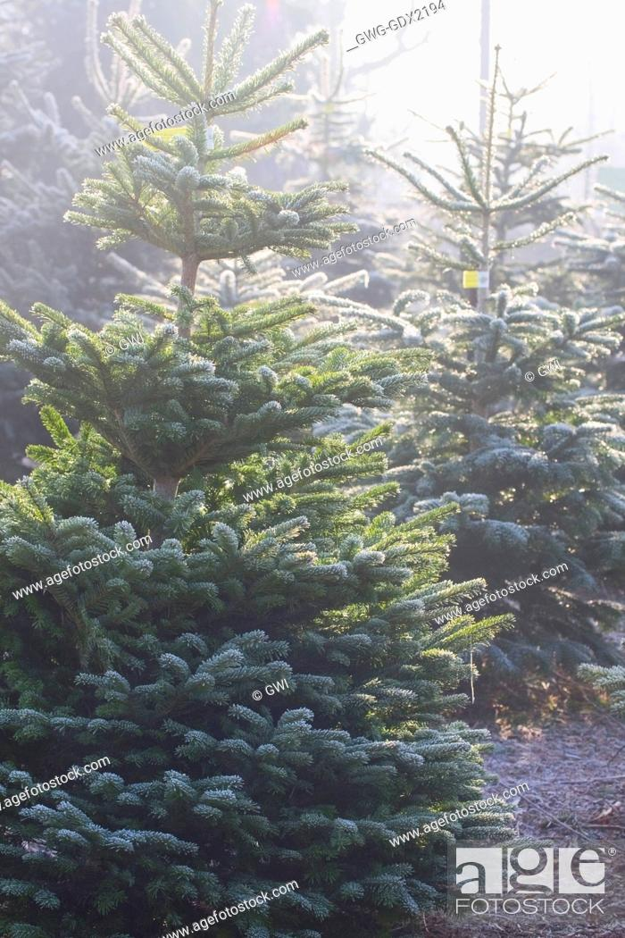 Stock Photo - ABIES NORDMANNIANA (NORDMAN FIR)THE CHRISTMAS TREE FARM  HAWKWELL - ABIES NORDMANNIANA (NORDMAN FIR)THE CHRISTMAS TREE FARM HAWKWELL
