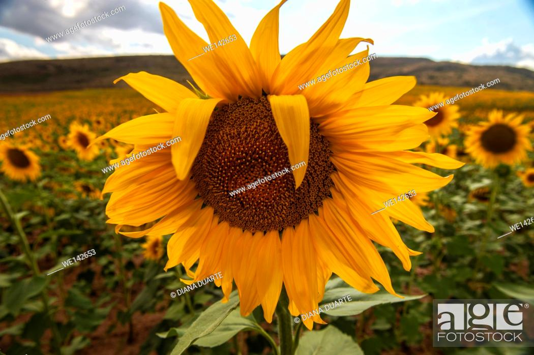 "Stock Photo: Sunflowers (Helianthus);A sunflower over many sunflowers in the summer time of Torrecuadadilla. """"Castilla la Mancha"""", Spain."