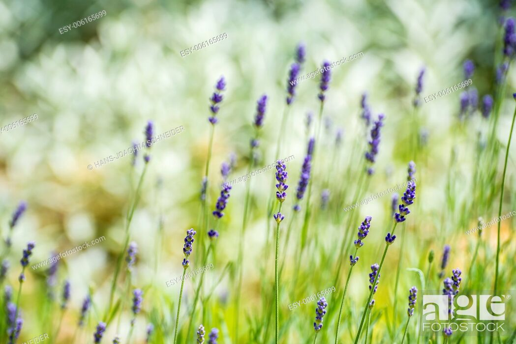 Stock Photo: Lavender with blurred background.