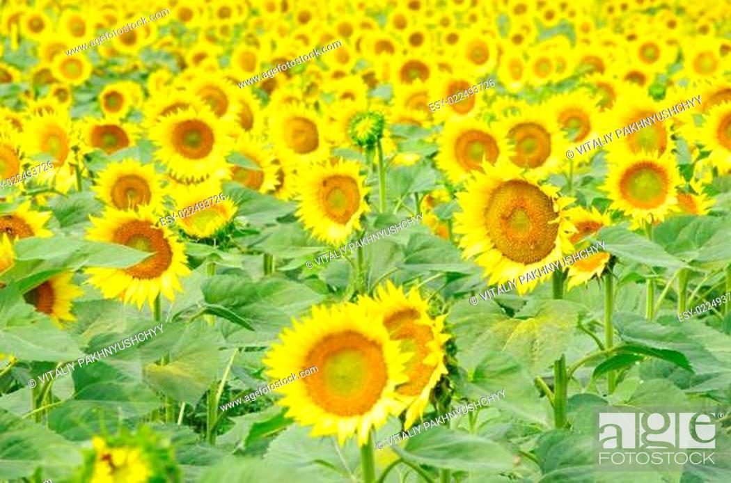 Stock Photo: sunflowers.
