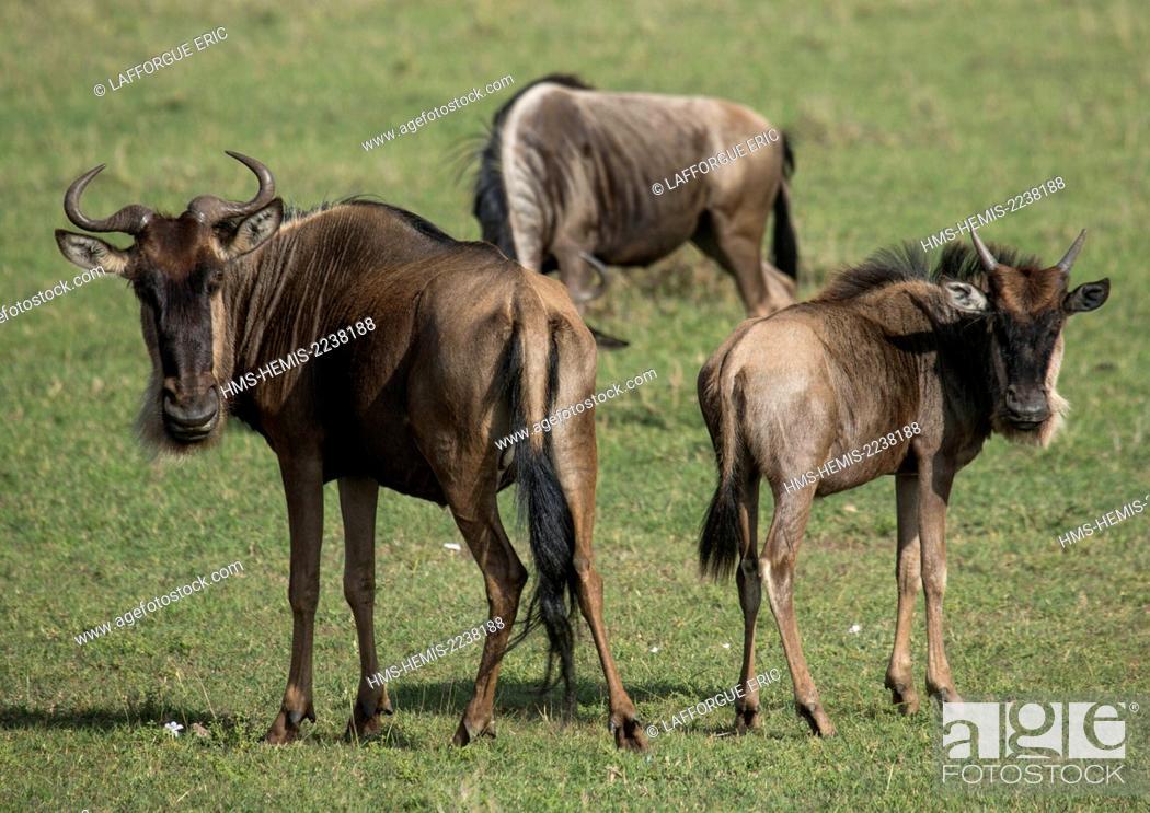 Stock Photo: Kenya, Rift Valley Province, Maasai Mara, black wildebeests (connochaetes gnou).