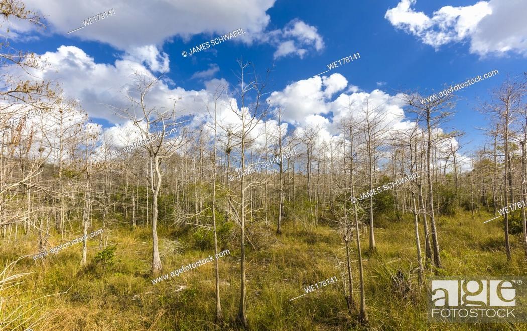 Stock Photo: Big white clouds in blue sky behind Cypress trees at Kirby Storter Roadside Park in Big Cypress National Preserve on Tamiami Trail in southern Florida.