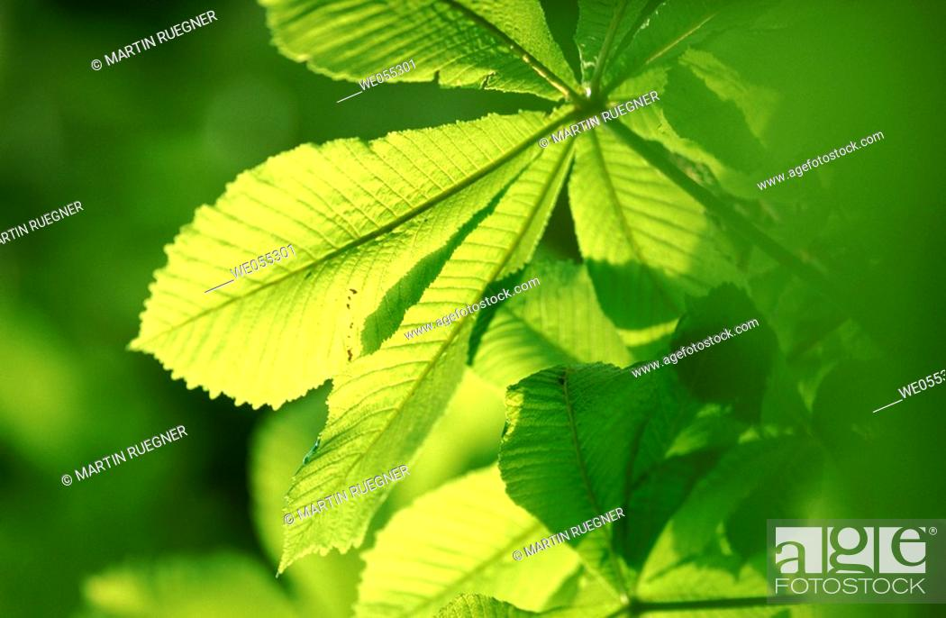 Stock Photo: Chestnut tree (Aesculus hippocastanum) leaf in spring. Bavaria, Germany.