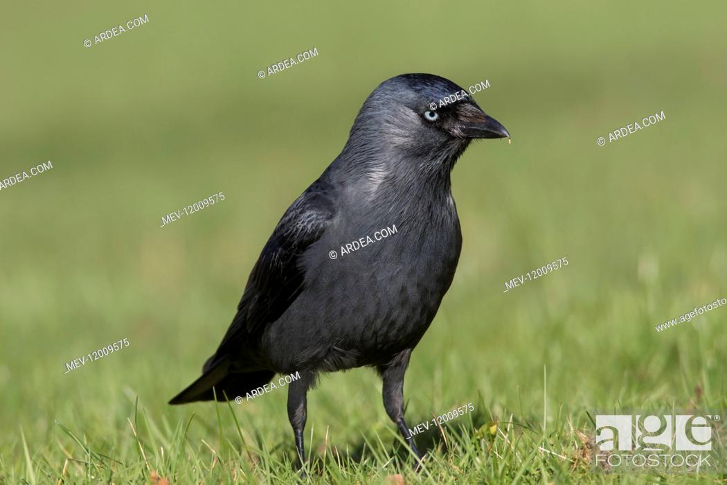 Stock Photo: Jackdaw - adult foraging - Germany.