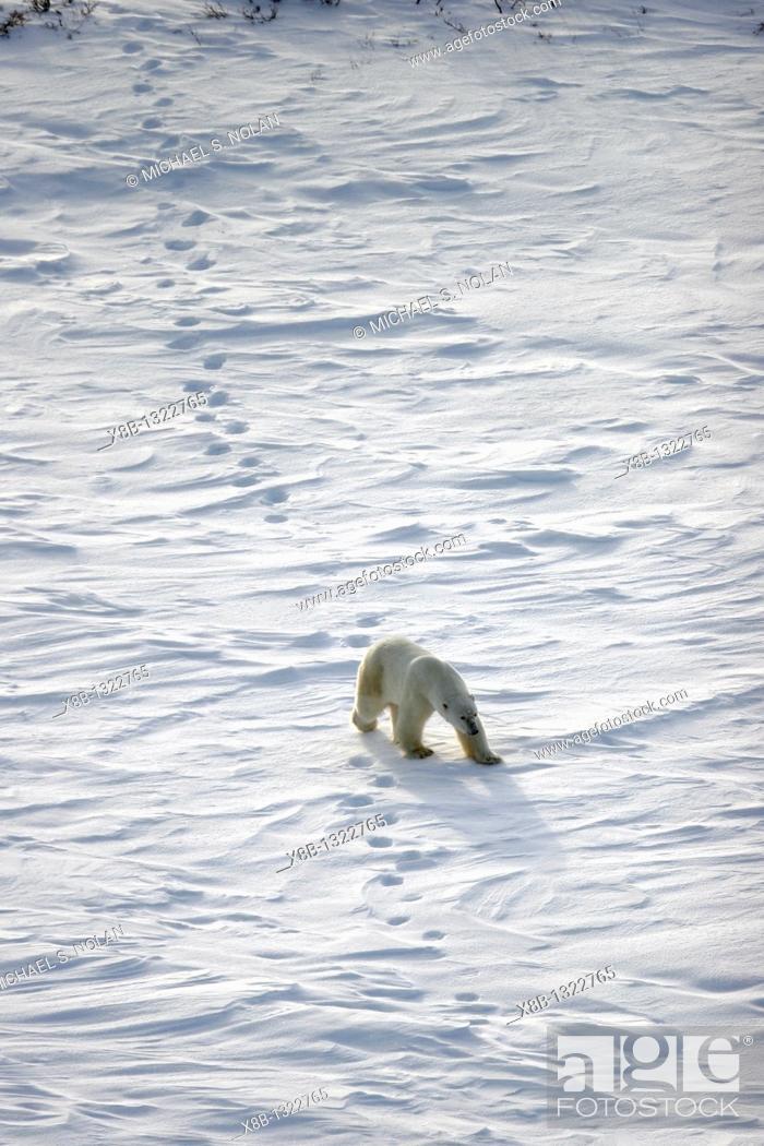 Stock Photo: Adult Polar Bear Ursus maritimus following in tracks on open tundra outside Churchill, Manitoba, Canada.