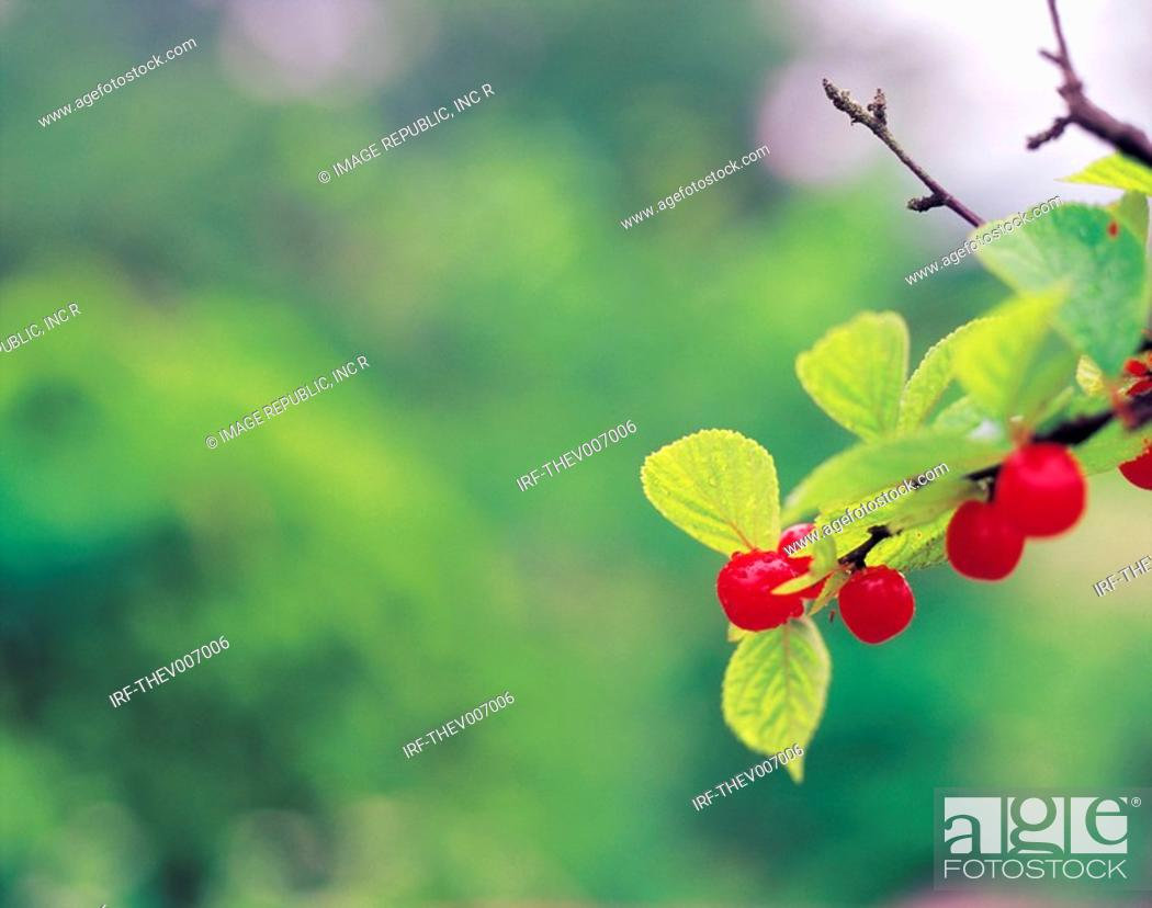 Stock Photo: cherries hung on the boughs.