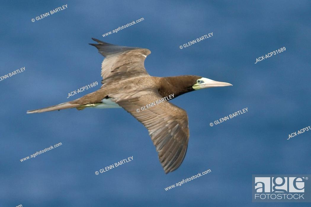 Stock Photo: Brown Booby Sula leucogaster leucogaster flying near the coast of Trinidad and Tobago.