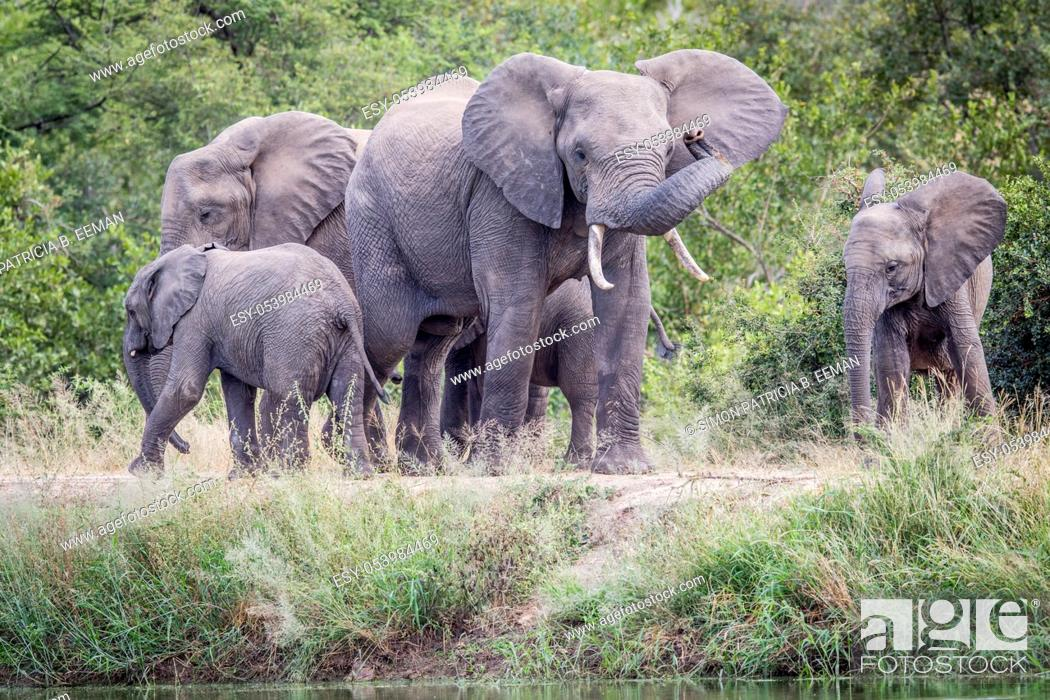 Stock Photo: Herd of Elephants standing in the grass in the Kruger National Park, South Africa.
