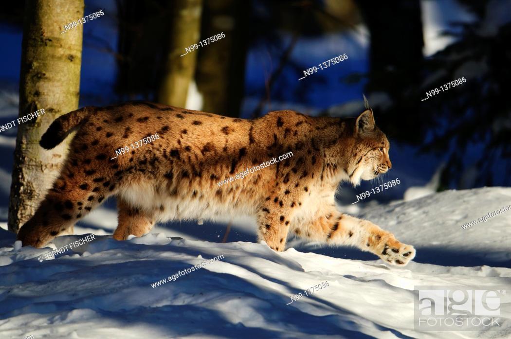 Stock Photo: Eurasian Lynx Lynx lynx, stalking through the snow, National Park Bayerischer Wald, Bavaria, Germany.