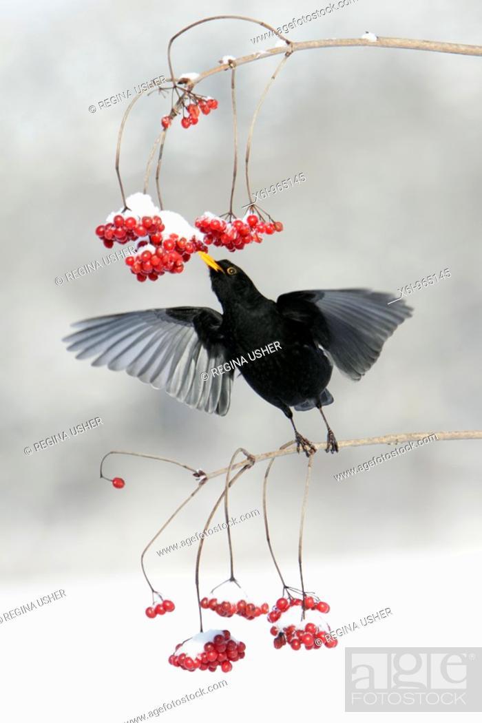 Stock Photo: Blackbird Turdus merula, feeding on Guelder Rose berries in winter, Germany.