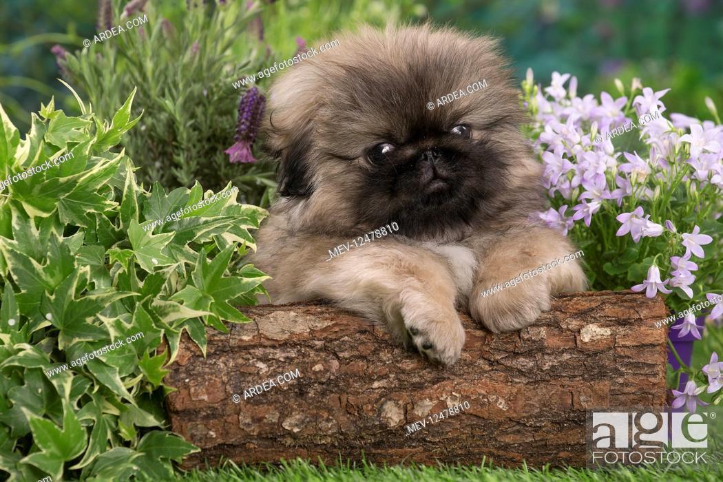 Stock Photo: Pekingese puppy outdoors in the garden.