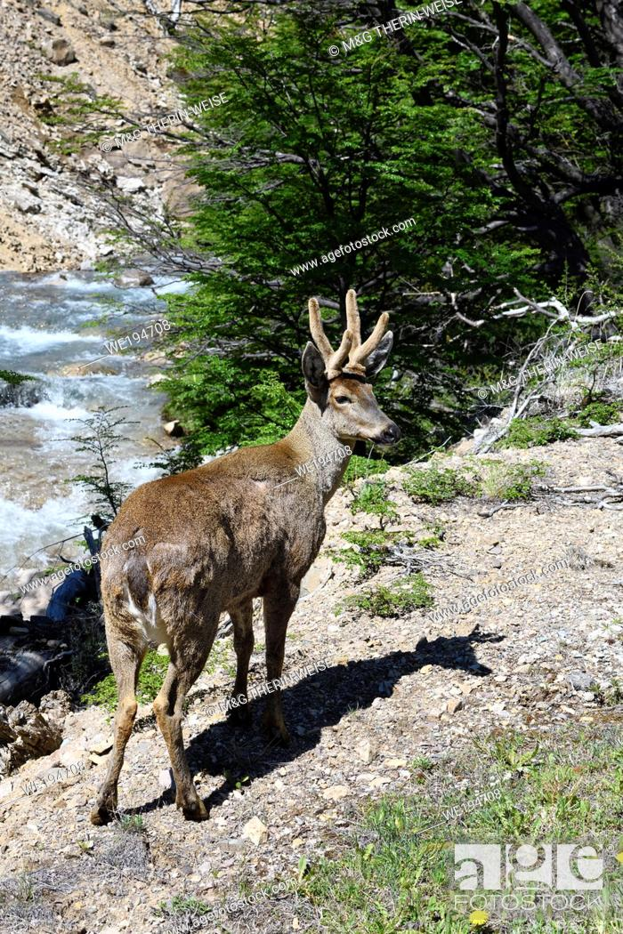 Stock Photo: Male South Andean Deer (Hippocamelus bisulcus) in a rocky environment near a river, Aysen Region, Patagonia, Chile.