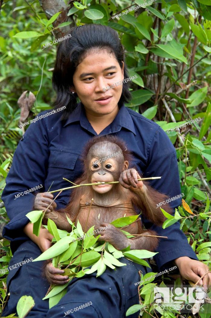 Stock Photo: Orangutan (Pongo pygmaeus) caretaker with two year old infant during forest exploration and training program, Orangutan Care Center, Borneo, Indonesia.