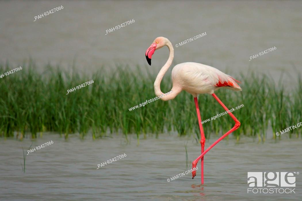 Stock Photo: Greater Flamingo (Phoenicopterus roseus) foraging in shallow water, Andalusia, Spain   usage worldwide. - /Andalusien/Spain.